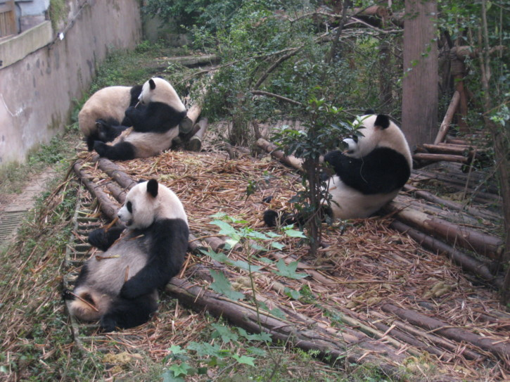 Giant Panda cubs eating bamboo