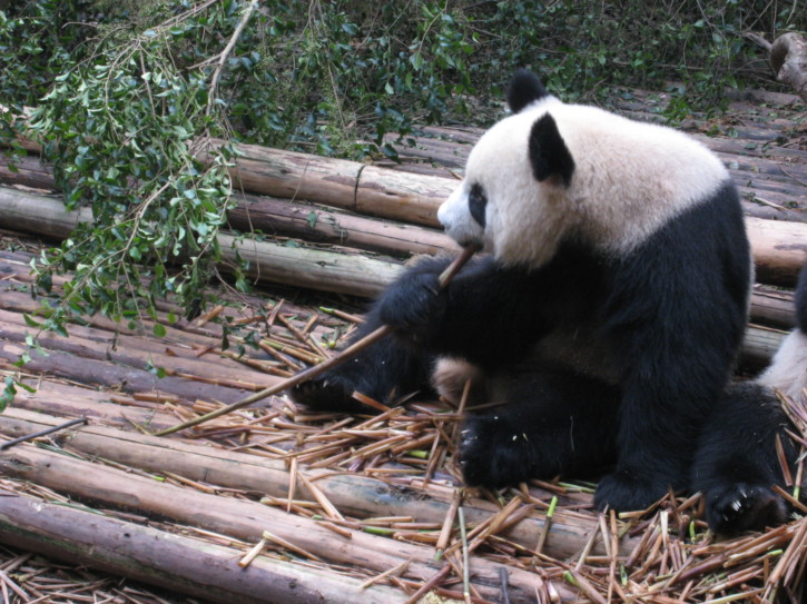 Giant Panda cub eating bamboo