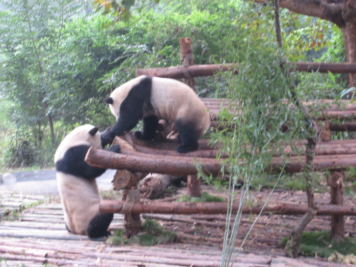 Two adult pandas playing