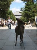 Deer on the approach to Todai Temple