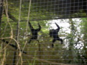 A pair of Gibbon doing gymnastics