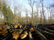 Lots of felled trees