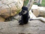 A young monkey - this guy was very bouncy and kept pulling the bigger monkey's tails!