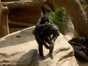 Daddy chimp gives baby chimp a piggy back