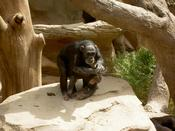 Clapping chimp
